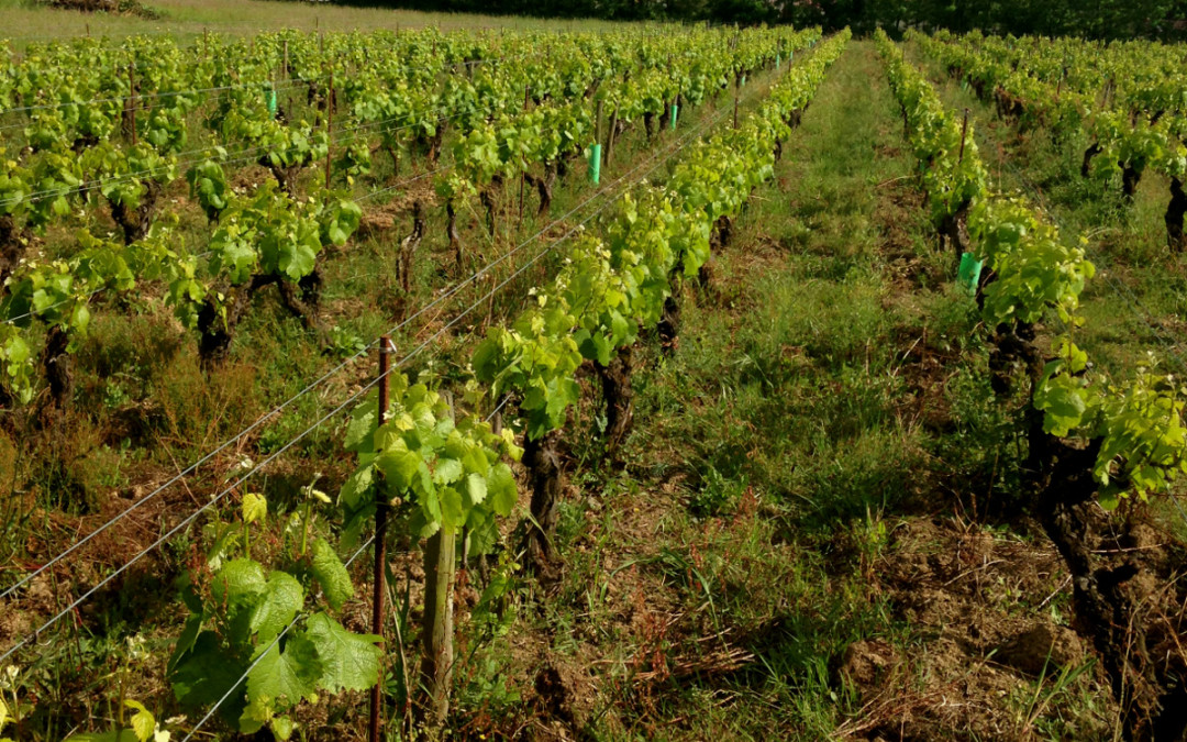 The Birth of the Muscadet Cru